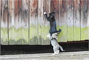 chats-cambrioleurs
